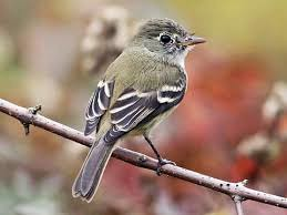 Least Flycatcher, St Louis, 100413