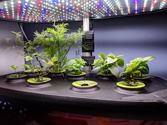 The Aerogarden herbs are doing well