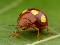 Gold dotted Beetle