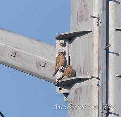 Faucon crécerelle Falco - tinnunculus - Common Kestrel : Michel NOËL © 2019-8785.jpg