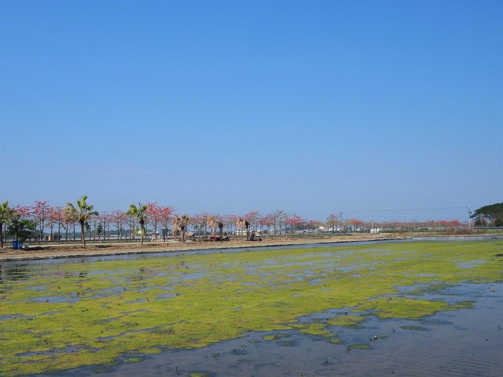 白河木棉花季 (2)