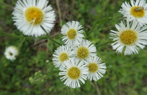 Fleabane Daisies - Erigeron philadelphicus - Explore!