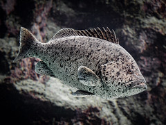 Speckled Blue Grouper