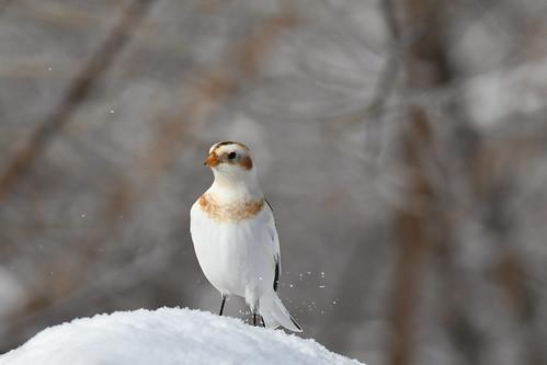 Plectrophane des neiges--Snow Bunting (Plectrophenax nivalis)  (IN EXPLORE no-41)