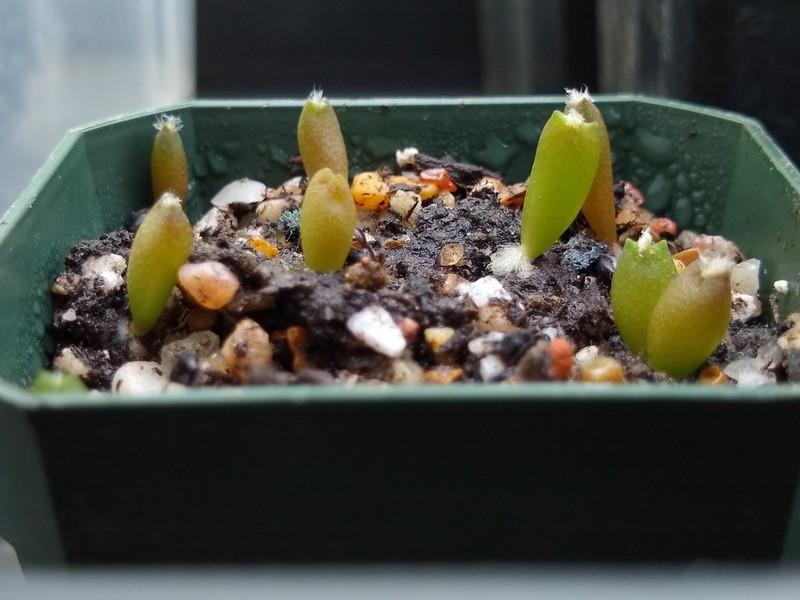 Semis d'Astrophytum (cactus) - Page 2 32492518497_8c222cf8db_c