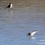 Aves en las lagunas de La Guardia (Toledo) 7-1-2019