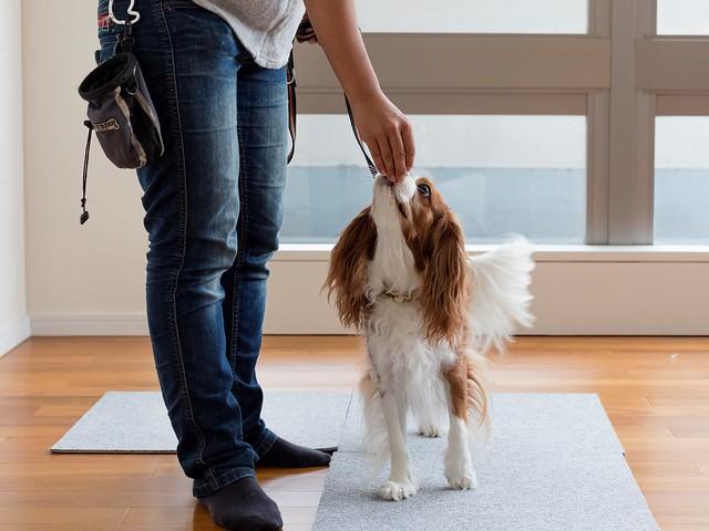 おうちで飛びつかずに散歩する練習をする犬