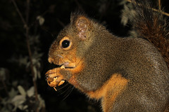 Tamiasciurus douglasii ♀ (Douglas Tree Squirrel) - Everett, WA