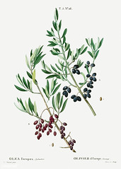 Wild olive (Olea europaea, sylvestris) illustration from Traité
