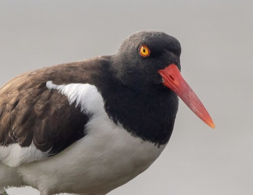 American Oystercatcher posing for us!