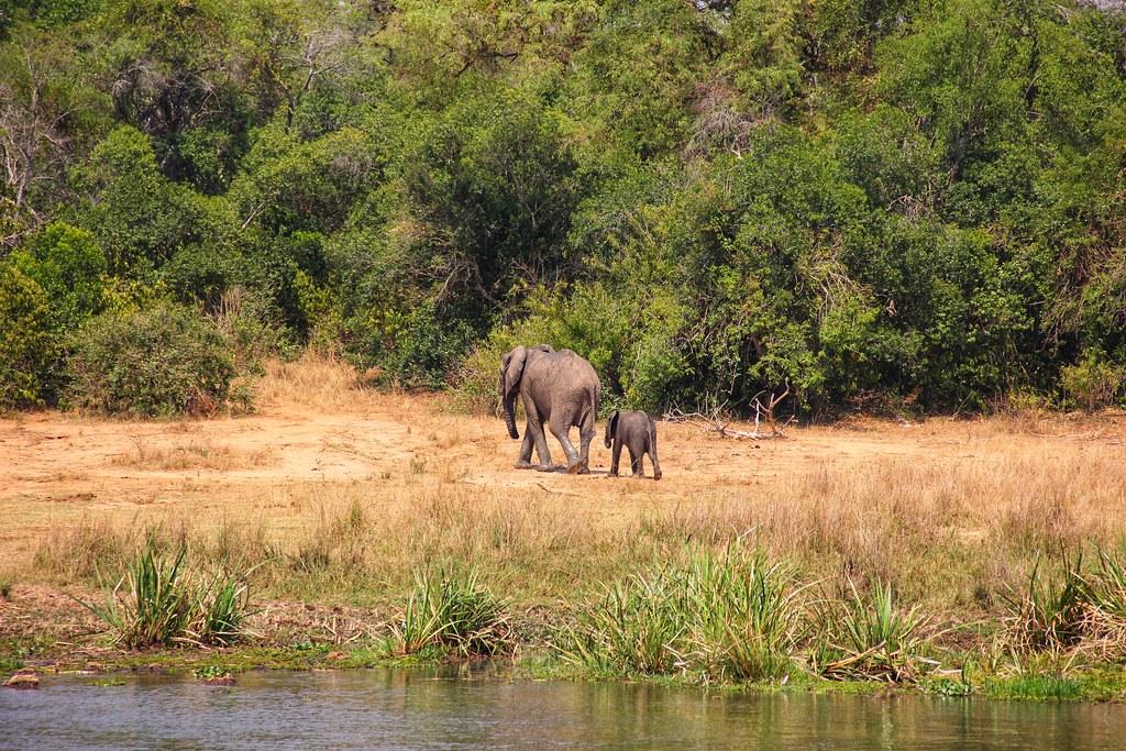 Elephants, Nile Cruise, Murchison Falls National Park, Uganda