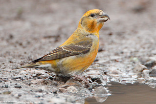 COMMON CROSSBILL Loxia curvirostra