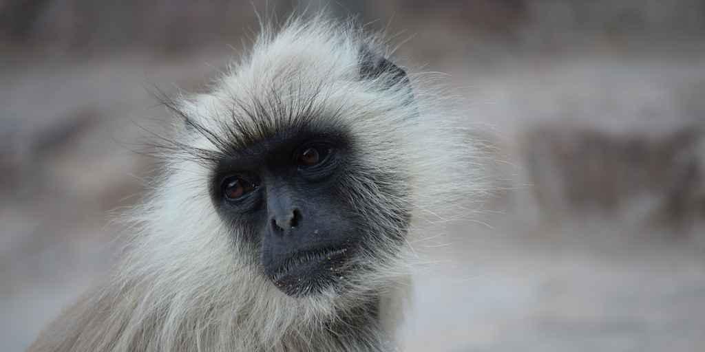 Les humains ont chassé les singes durant des milliers d'années