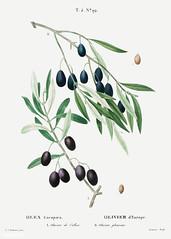 Olive (Olea europaea) illustration from Traité des Arbres et Ar