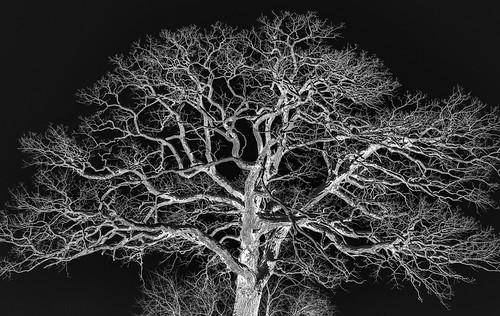 bur oak (Quercus macrocarpa - Fagaceae) in inverted light