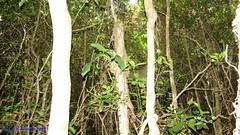 Catasetum atratum no habitat