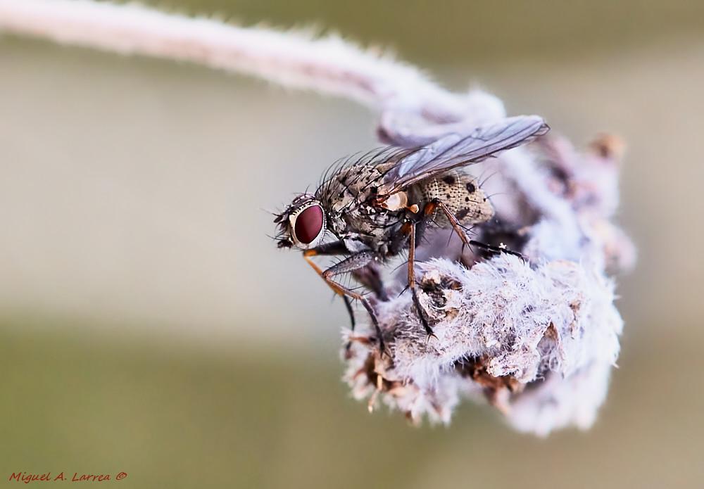 Una mosca en Macros46302905805_f8aa3da273_b