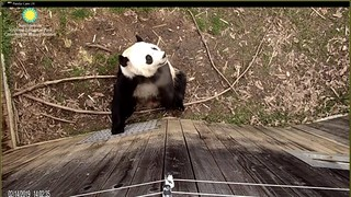 Who could possibly ignore this sweet little face!? 🐼❤️