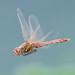 Male Variegated Meadowhawk - Sympetrum corruptum (Libellulidae) 112s-10368