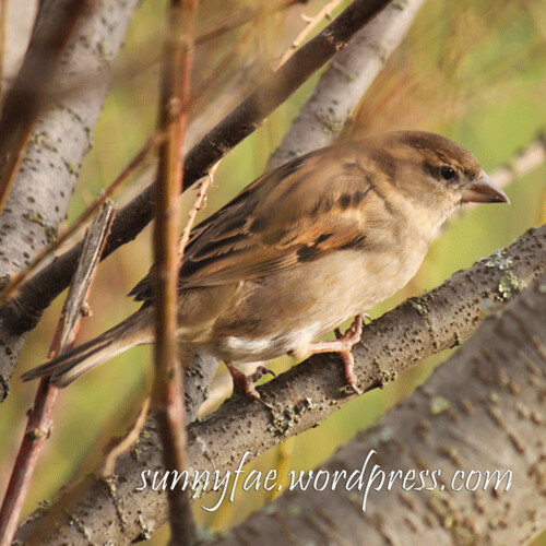 female garden sparrow