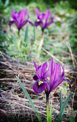 petits iris au jardin - Photo of Graincourt-lès-Havrincourt