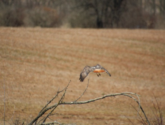IMG_8361 red tailed hawk