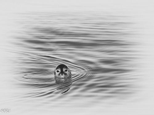 Le petit phoque