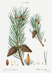 Scots pine (Pinus sylvestris) illustration from Traité des Arbr