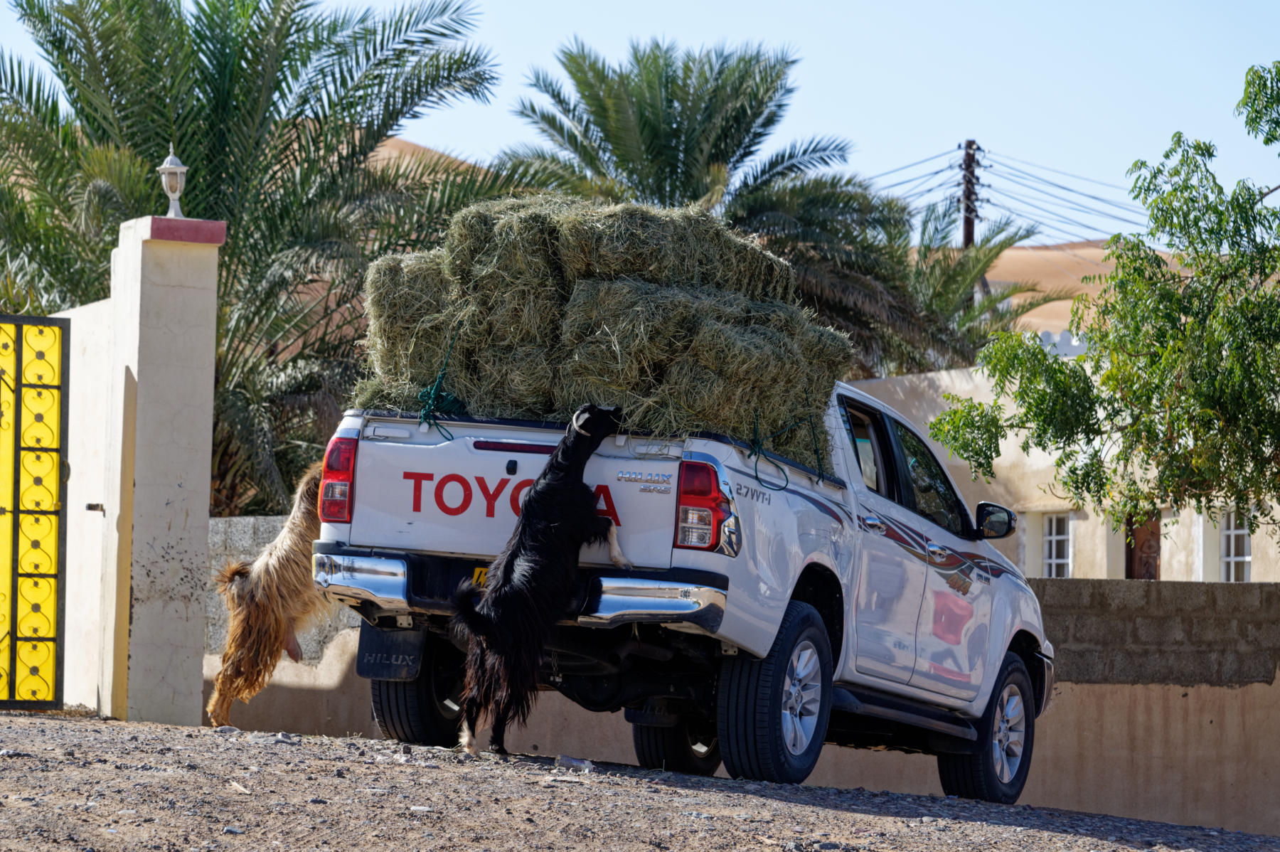 Opportunistic goats, Oman