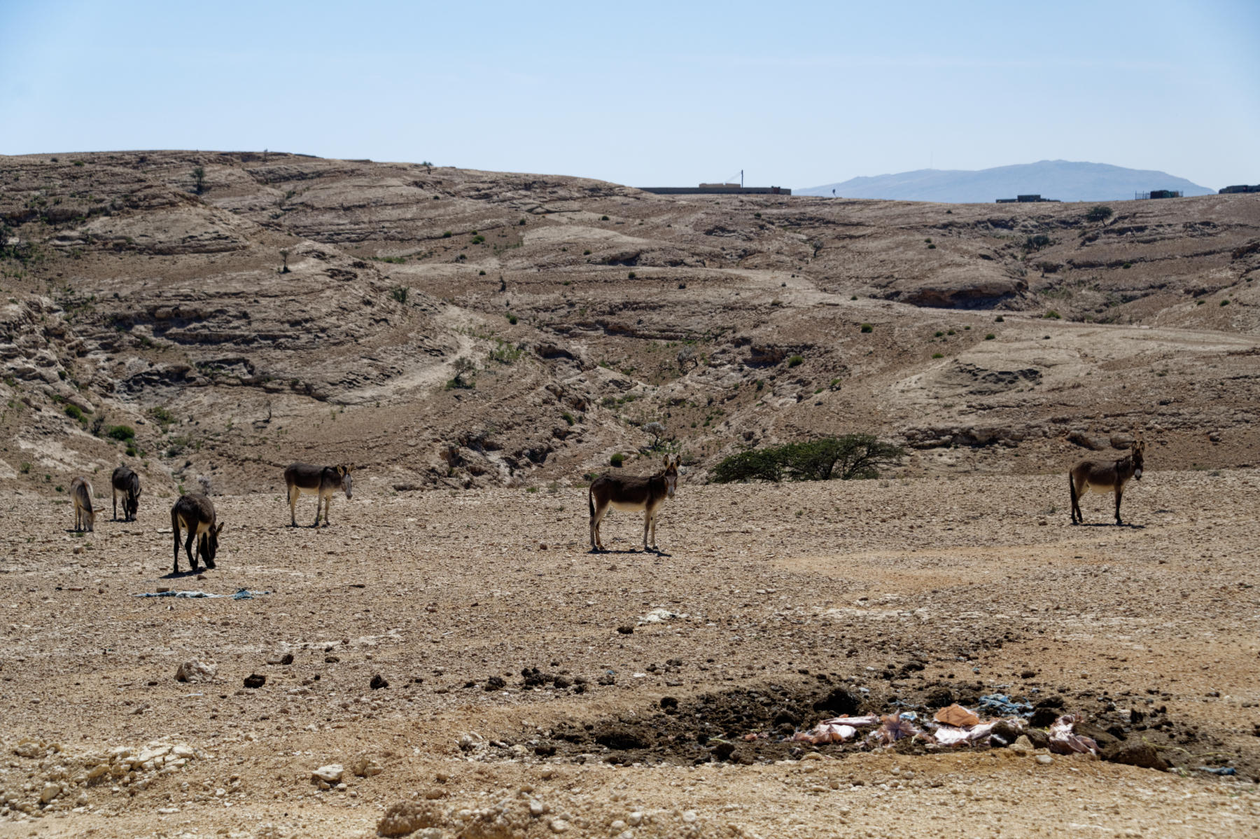 Wild donkeys in the Hajar Mountains, Oman