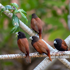 Chestnut Munia, taken in my garden