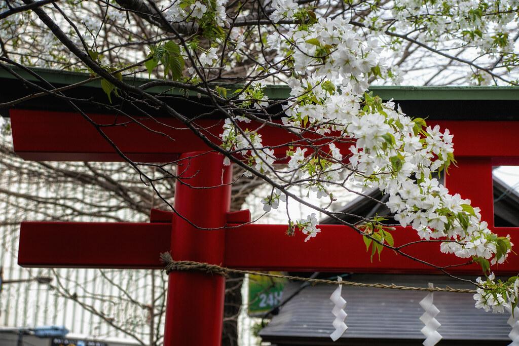 A Shinto Torii & Cherry Blossom