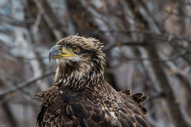 Bald Eagle, Quidi Vidi, Nikon D850, AF-S Nikkor 200-500mm f/5.6E ED VR