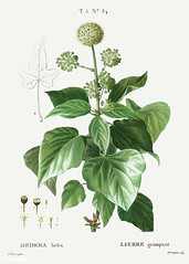 Common ivy (Hedera helix) illustration from Traité des Arbres e