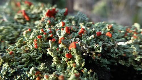 Turflucifer - Cladonia incrassata