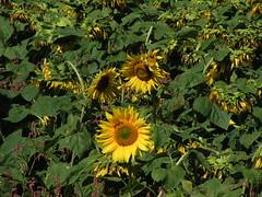 20080916 38080 1017 Jakobus Sonnenblumenfeld - Photo of Pern