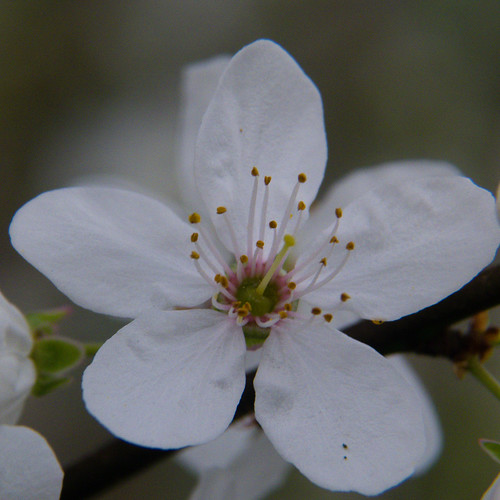 Cherry flower, close-up