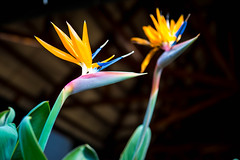 Colorful bird of paradise flowers