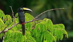 Aracaris, Toucanets and Toucans