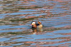 Canard mandarin Aix galericulata - Mandarin Duck.jpg - Photo of Villevallier