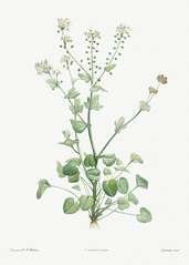 Blooming scurvy-grass