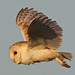 A Beautiful Barn Owl In Flight. by Ron Vipond