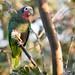 Cuban Parrot Dec 2018 by scelorchilus