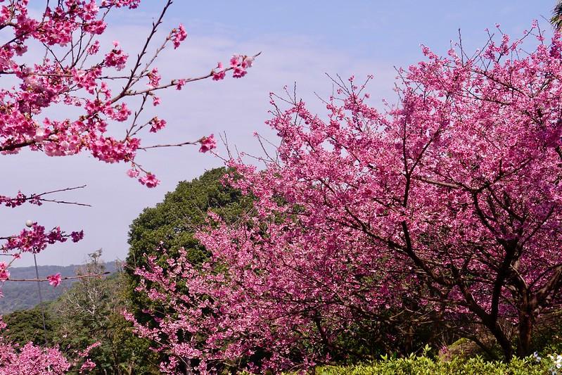三色櫻 天元宮天壇後方櫻花林