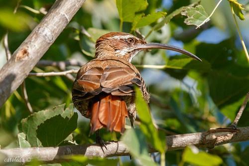 Chinchero Grande -Scimitar-billed Woodcreeper#3
