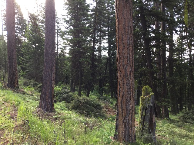 A photo of the Lolo National Forest after treatment