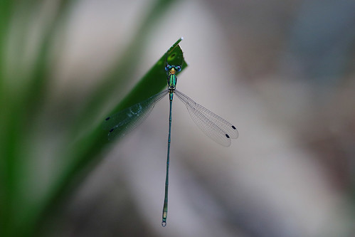 Synlestes selysi