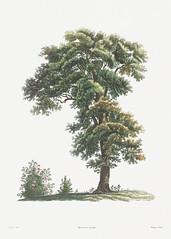 Vintage tree drawing