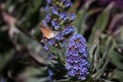 Mariposa Esfinge Colibri