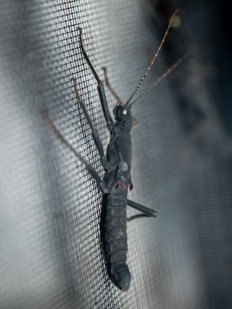Golden Eyed Stick Insect